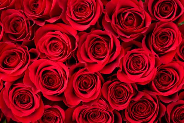 Rose background picture id174655938?b=1&k=6&m=174655938&s=612x612&w=0&h=5rvsd59mejk2pn rq24r5cat f54kqn1qiss1ekpfda=