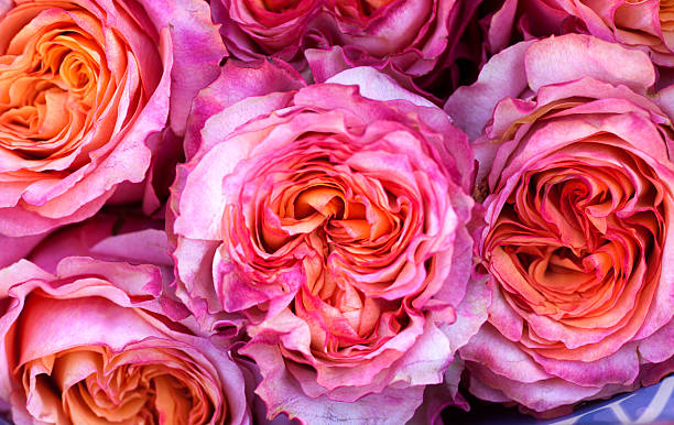 Rose backgrounds picture id508316382?b=1&k=6&m=508316382&s=612x612&w=0&h=snbxu9tv6parqkby66umsmujeeasf7bua0r9anwp0rc=