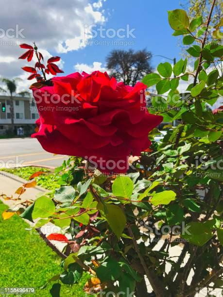 Rose beauty in nature picture id1158496479?b=1&k=6&m=1158496479&s=612x612&h=pjqbyit8zg bjoaipduxiv2nhygqjuwswpvsddmv8zk=
