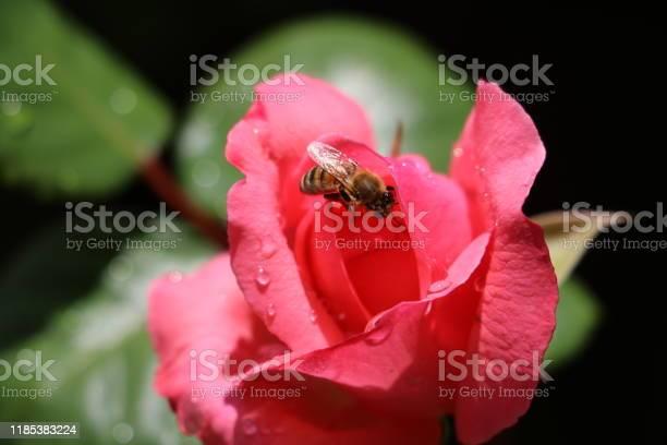 Rose bee picture id1185383224?b=1&k=6&m=1185383224&s=612x612&h=9p062peebhylfiizreh7neryvqkmvytuuidycz2dudw=