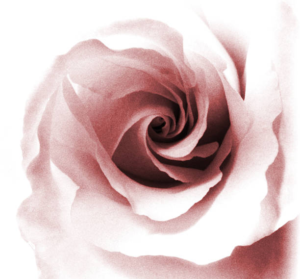 Rose black and white toned red picture id492337639?b=1&k=6&m=492337639&s=612x612&w=0&h=vn230daamd9wj2rxrtj8ldzmlhu9powktszkg2odqfa=