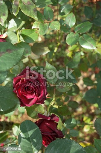 istock Rose 'Black Baccara' - Dark Red 1081236310