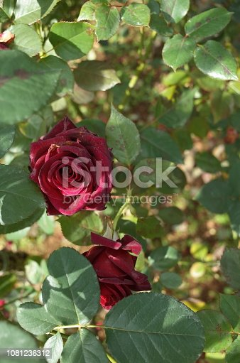 istock Rose 'Black Baccara' - Dark Red 1081236312