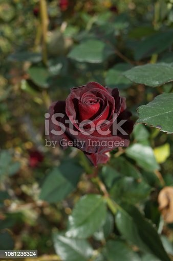 istock Rose 'Black Baccara' - Dark Red 1081236324