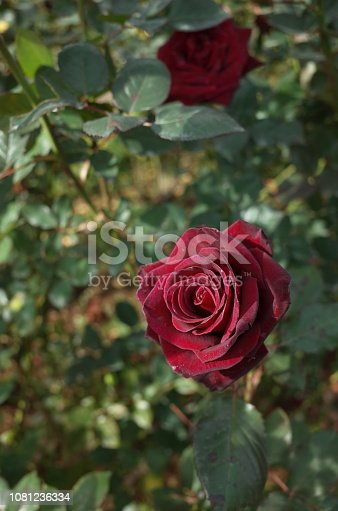 istock Rose 'Black Baccara' - Dark Red 1081236334