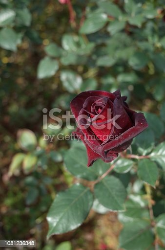 istock Rose 'Black Baccara' - Dark Red 1081236348