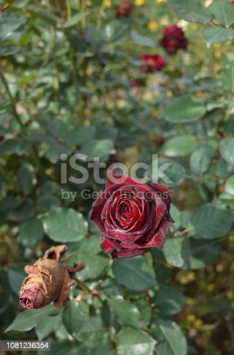 istock Rose 'Black Baccara' - Dark Red 1081236354