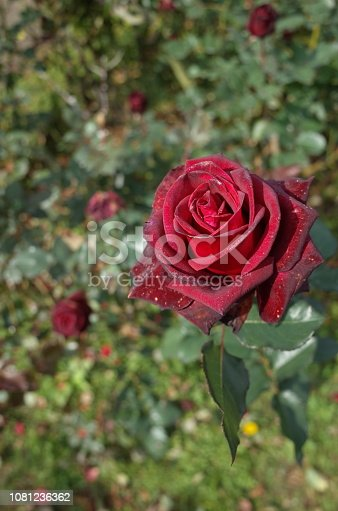 istock Rose 'Black Baccara' - Dark Red 1081236362