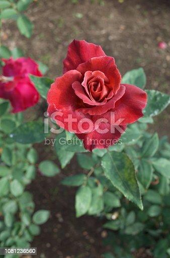 1082914626 istock photo Rose 'Black Tea' - Dark Red 1081236560