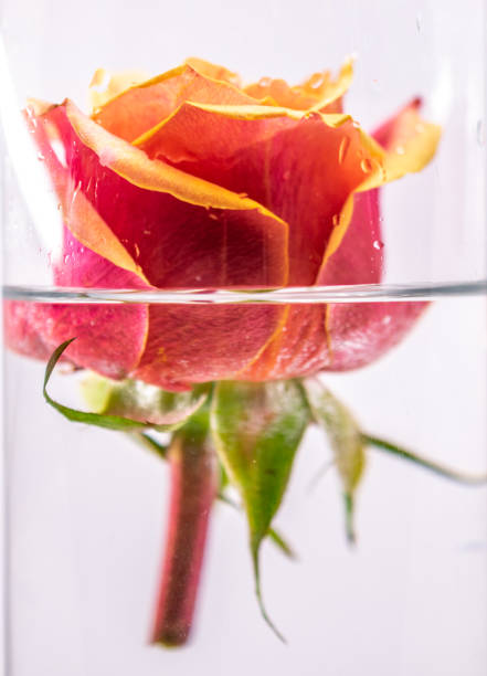 rose bloom with cut stem stock photo