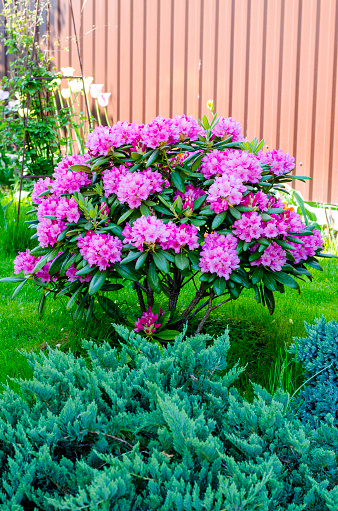 Blooming pink rhododendron in the garden in springtime.