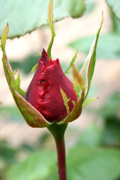 Rosenblüte im Garten – Foto