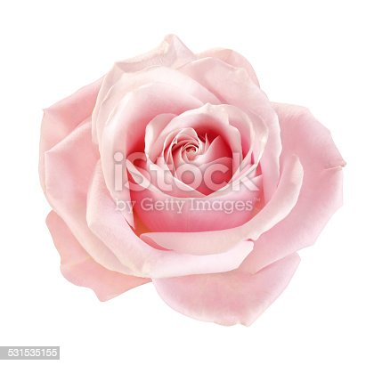 blooming pink rose isolated
