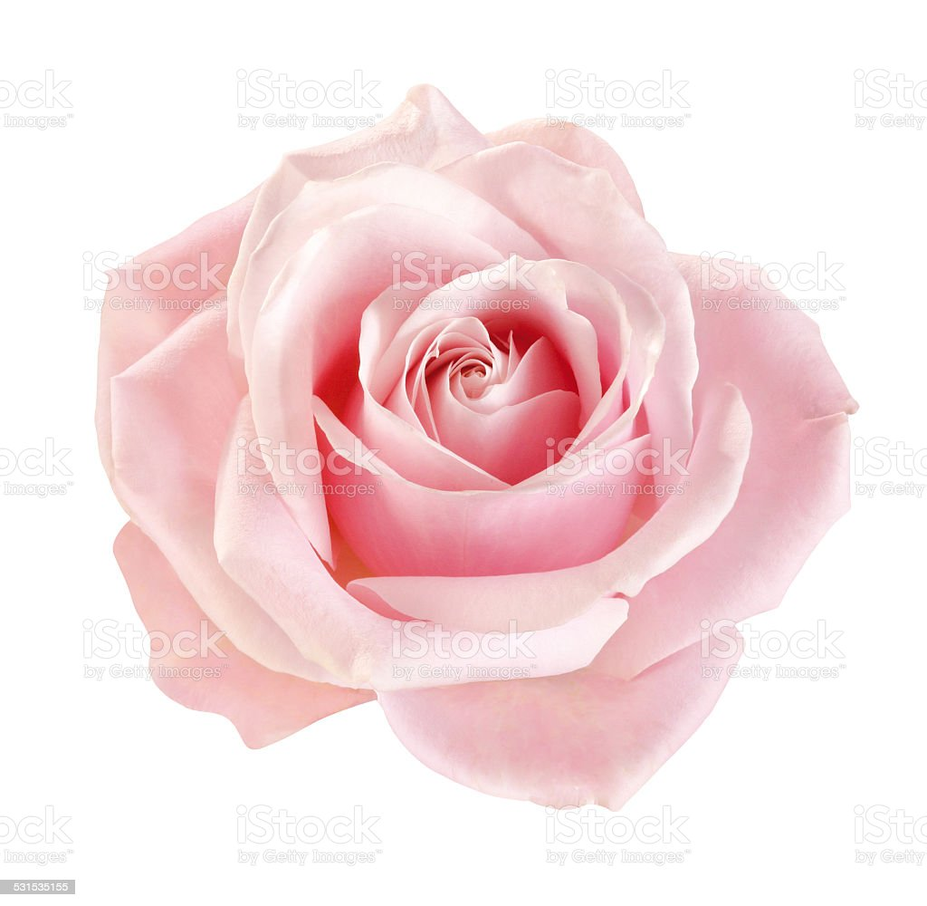 Rose blossom stock photo