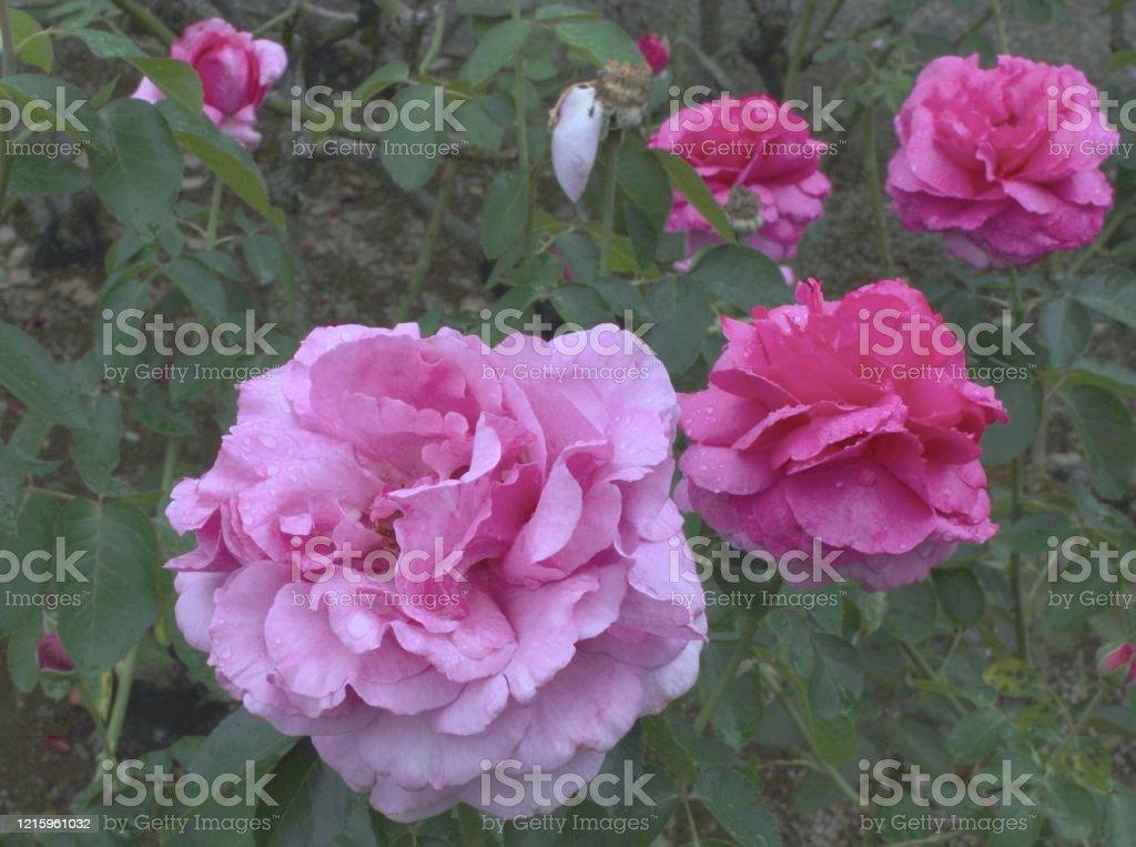 バラの花。 - イギリス式庭園のロイヤリティフリーストックフォト