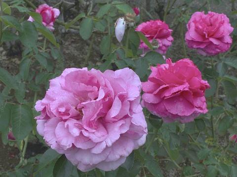 バラの花 - イギリス式庭園のストックフォトや画像を多数ご用意