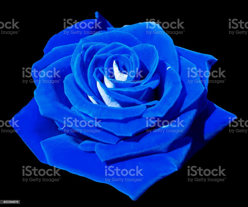 Rose blue on the black isolated background with clipping path.  Closeup. Side view. Nature. stock photo