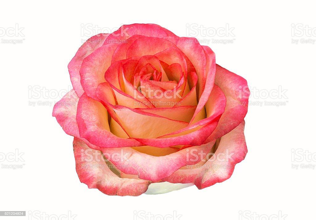 rose bud isolated on white background. clipart, rose flower. stock photo