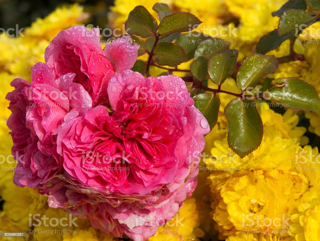 rose Bud with bright yellow flowers foto royalty-free