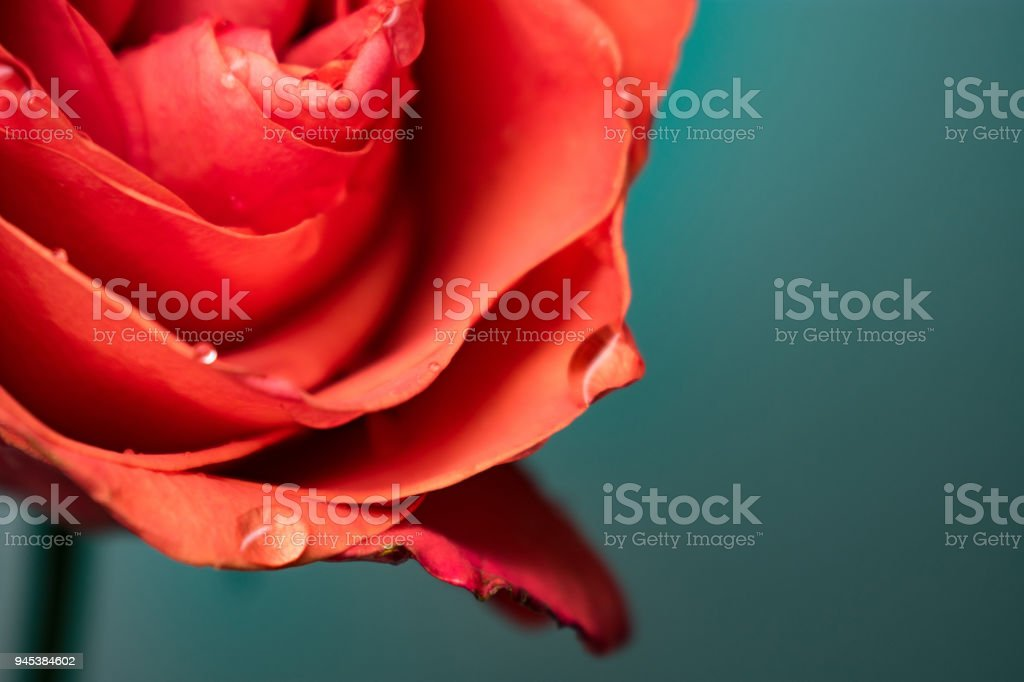 Rose bud with drops of water stock photo