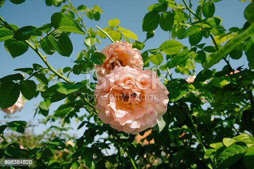 istock Rose bush with lots of beautiful roses 898384820
