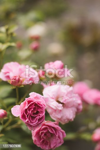 Serbia, Rose - Flower, Flower, Pink Color, Rose Petals