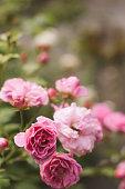 Serbia, Rose - Flower, Flower, Pink Color, Rose Petals