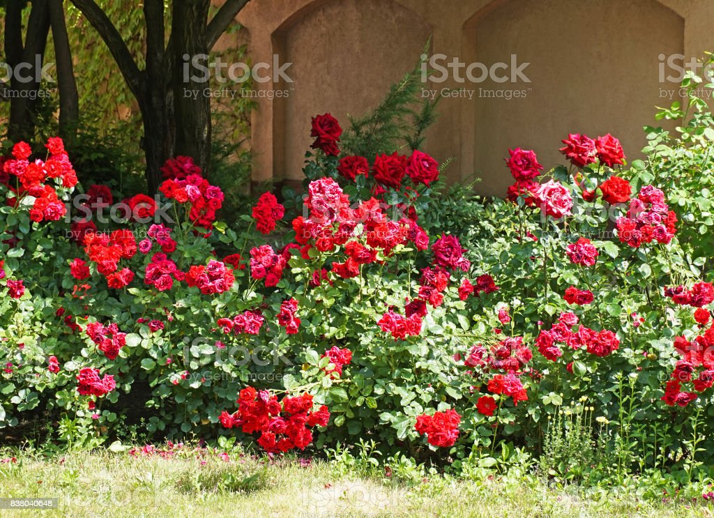Rose bushes in the garden stock photo