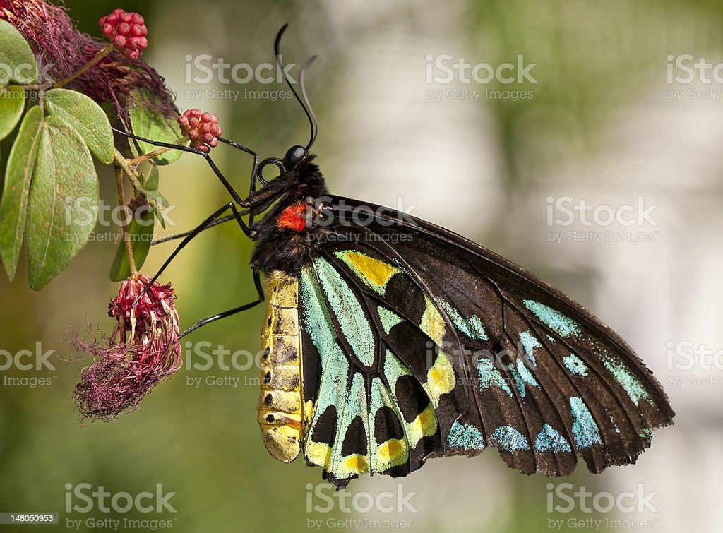 Rose butterfly (ornithoptera priamus) royalty-free stock photo
