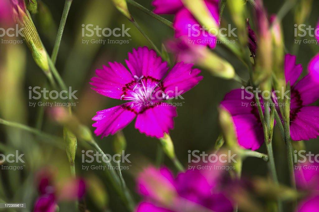 Rose campion lychnis coronaria royalty-free stock photo