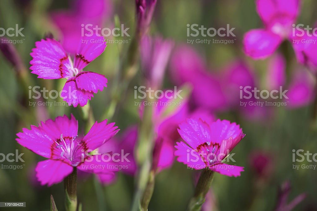 Rose campion lychnis coronaria royalty-free stock photo