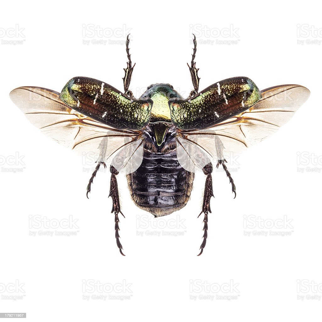 Rose chafer stock photo