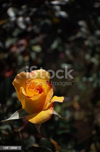 istock Rose 'Charleston' - Yellow and Light Red 1081386612