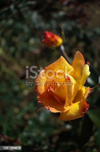 istock Rose 'Charleston' - Yellow and Light Red 1081386628
