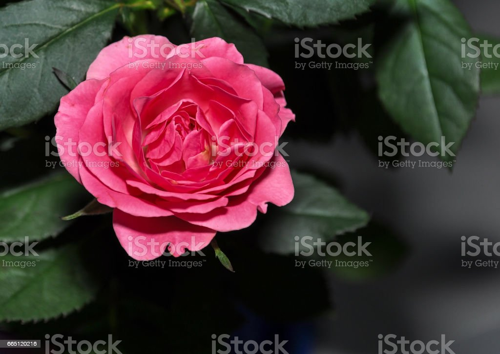 Rose close up , on blur background, valenties day stock photo