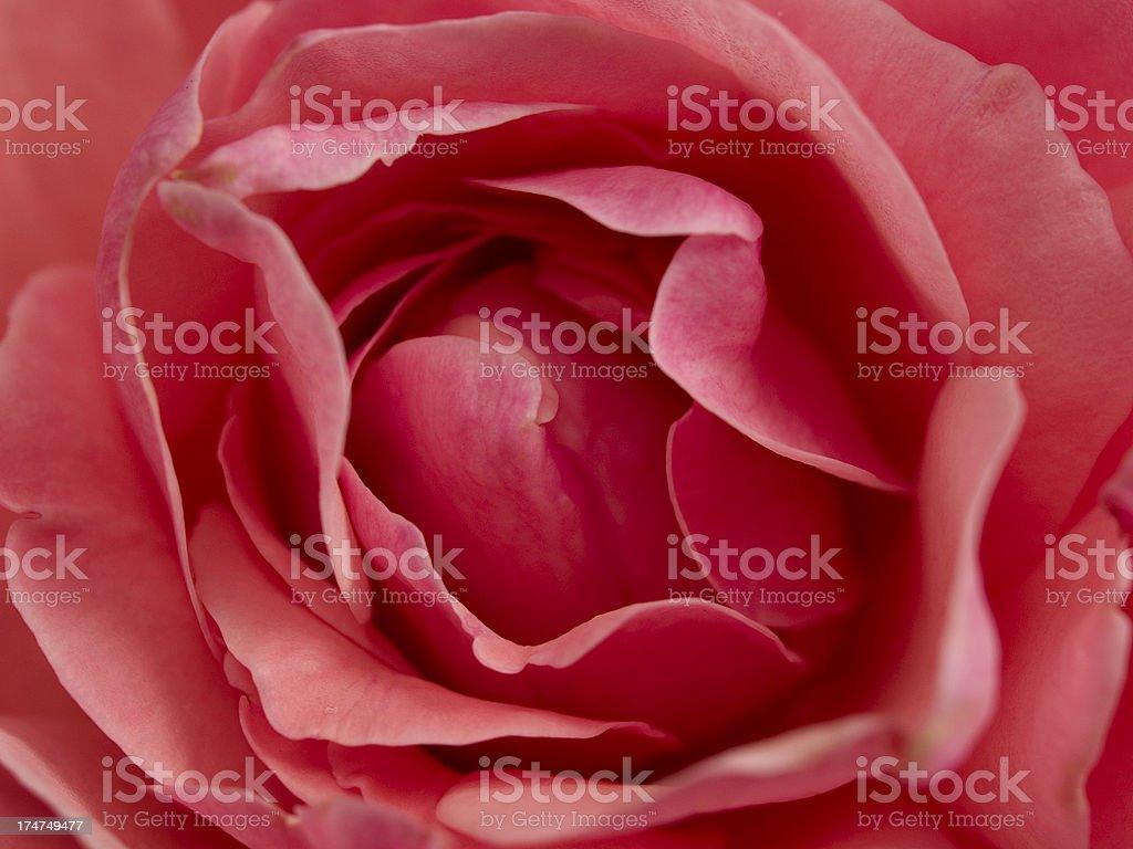 Rose Close Up royalty-free stock photo