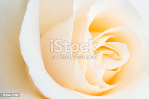 Close up of a pale rose.