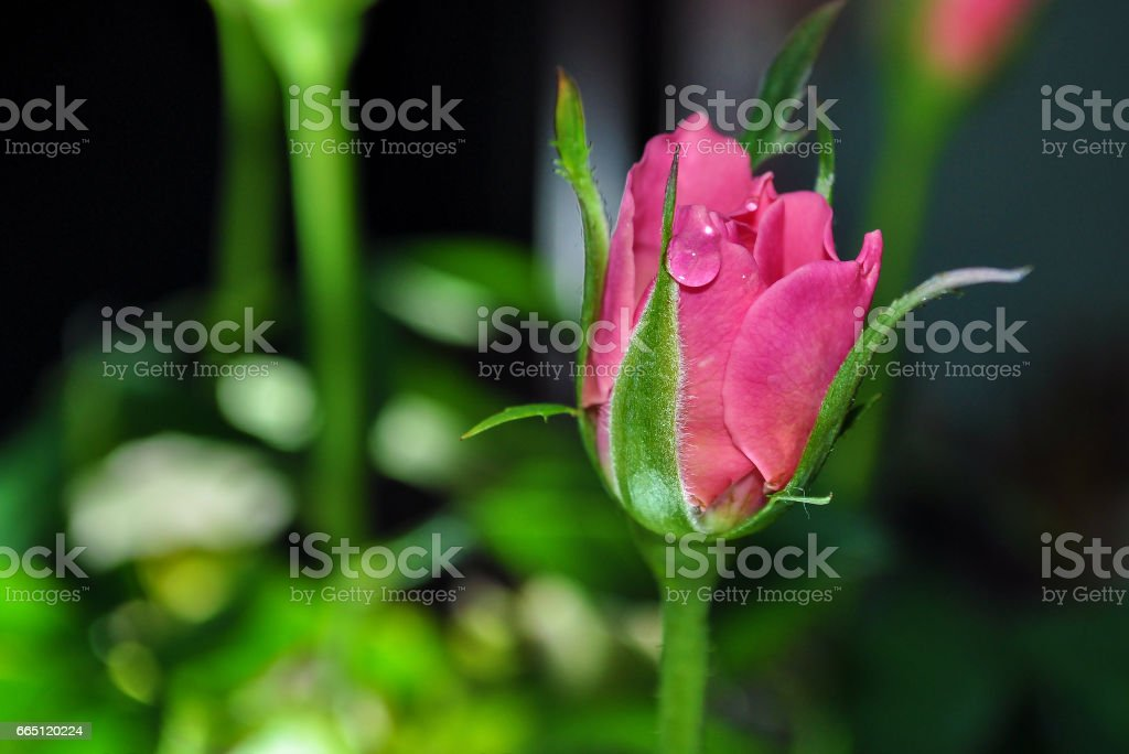 Rose close up with raindrops , valenties day stock photo