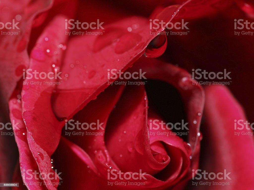 Rose closeup 2 royalty-free stock photo