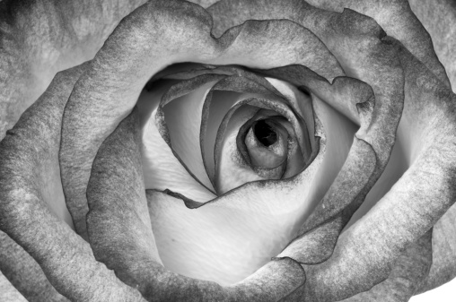 B&W rose closeup.