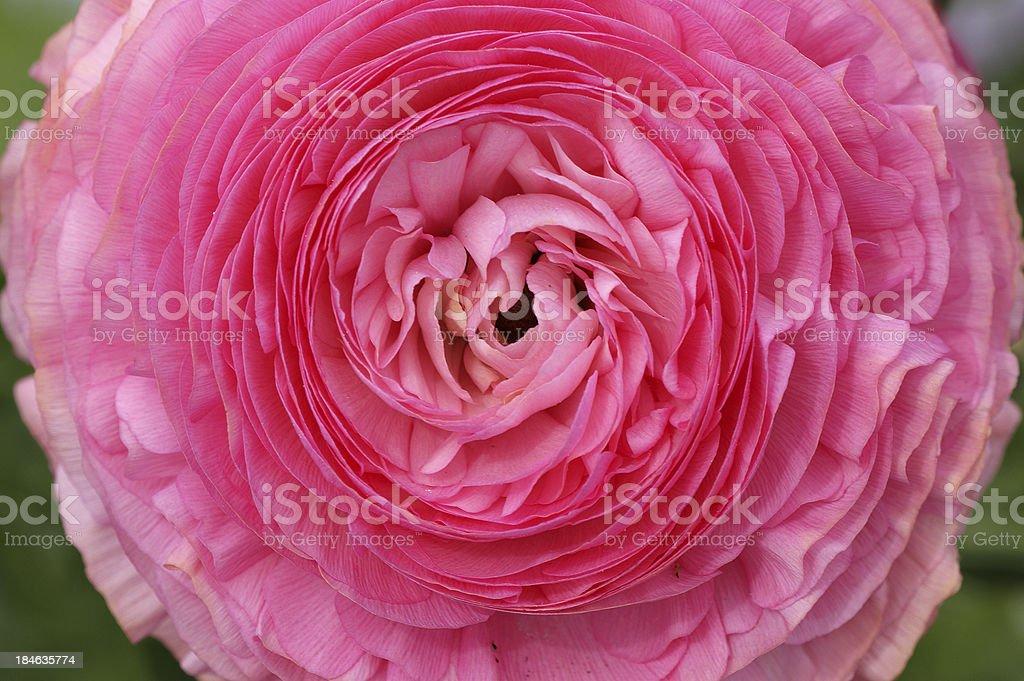 Rose closeup royalty-free stock photo