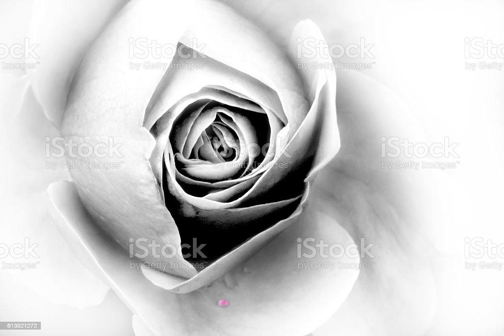 rose -closeup stock photo
