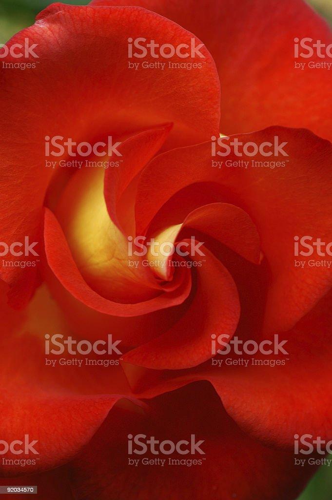 Rose Close-Up stock photo