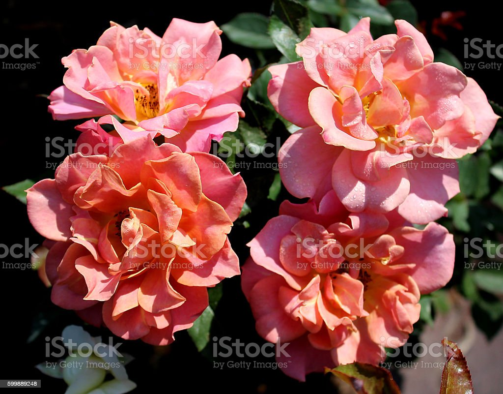 'Rose Cube' stock photo
