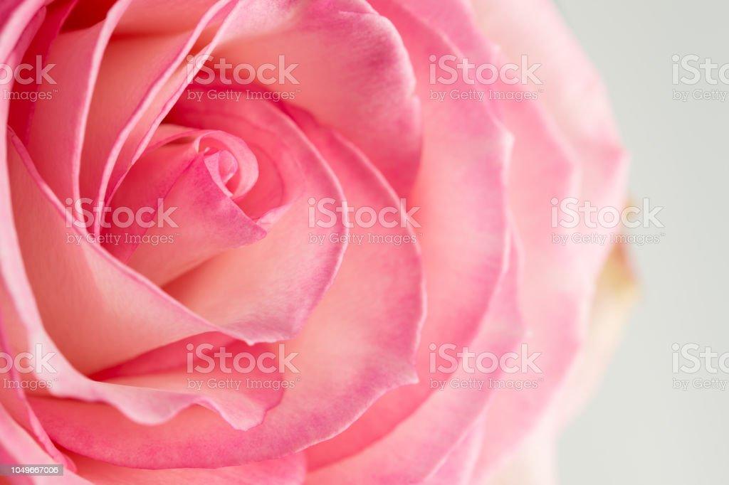 Rose De Couleur Rose Et Blanche De Gros Plan Avec Lumière ...