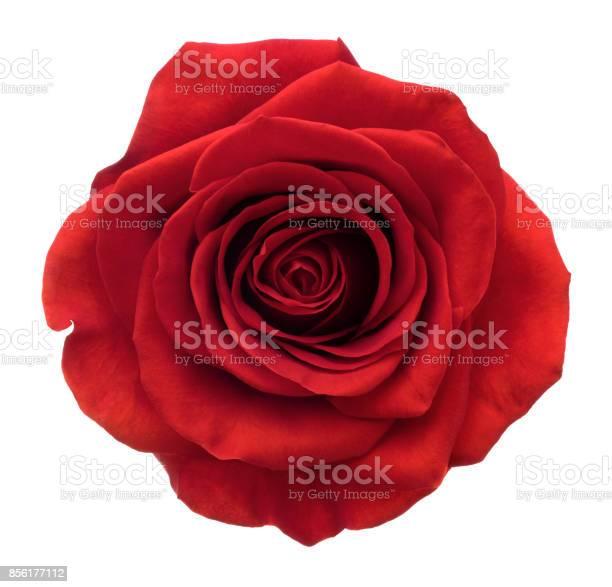 Rose deep focus no dust no pollen isolated on white picture id856177112?b=1&k=6&m=856177112&s=612x612&h=gxpjjglfnn w6pufqiyf7jtjbx3tdmszrjmsqwcml g=