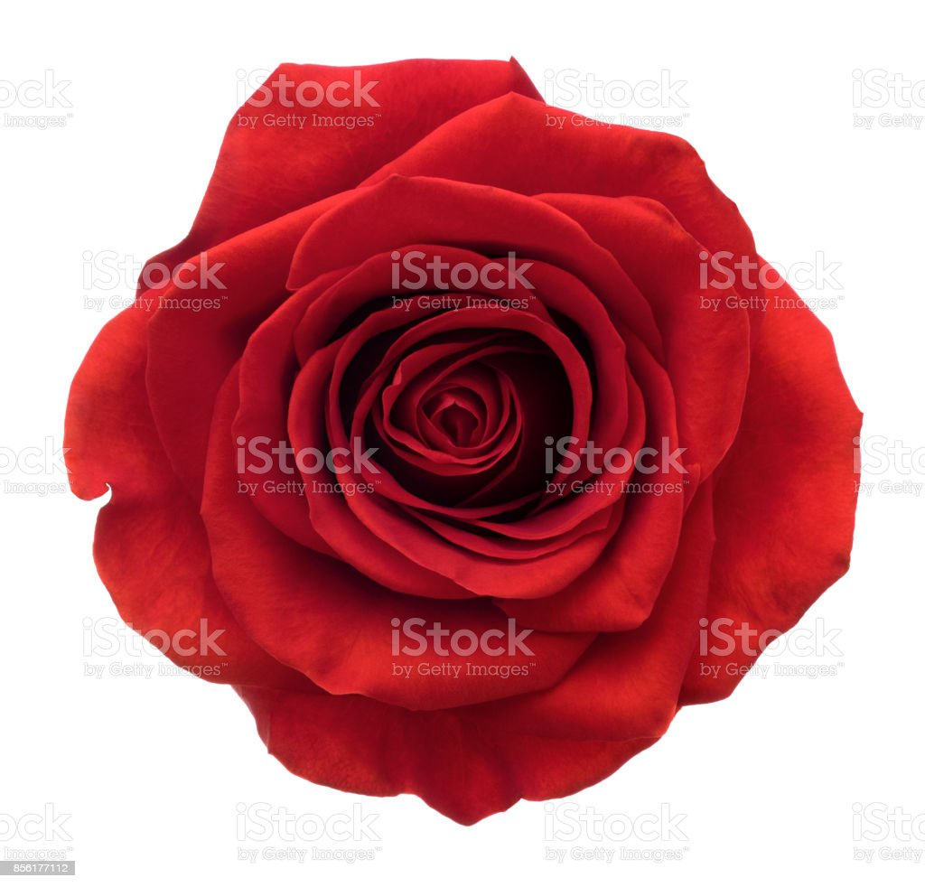 Rose. Deep Focus. No dust. No pollen. Isolated on white. stock photo
