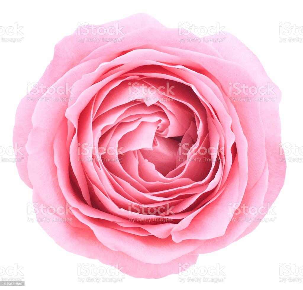 Rose. Deep Focus. No dust. No pollen. stock photo