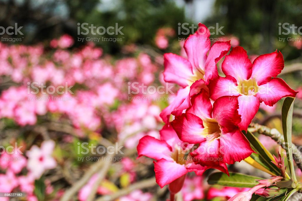 Rose desert royalty-free stock photo