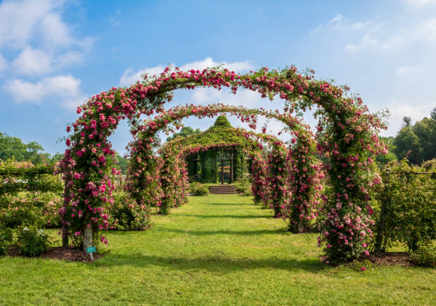Rose 'Dorothy Perkins' blooming on arches stock photo